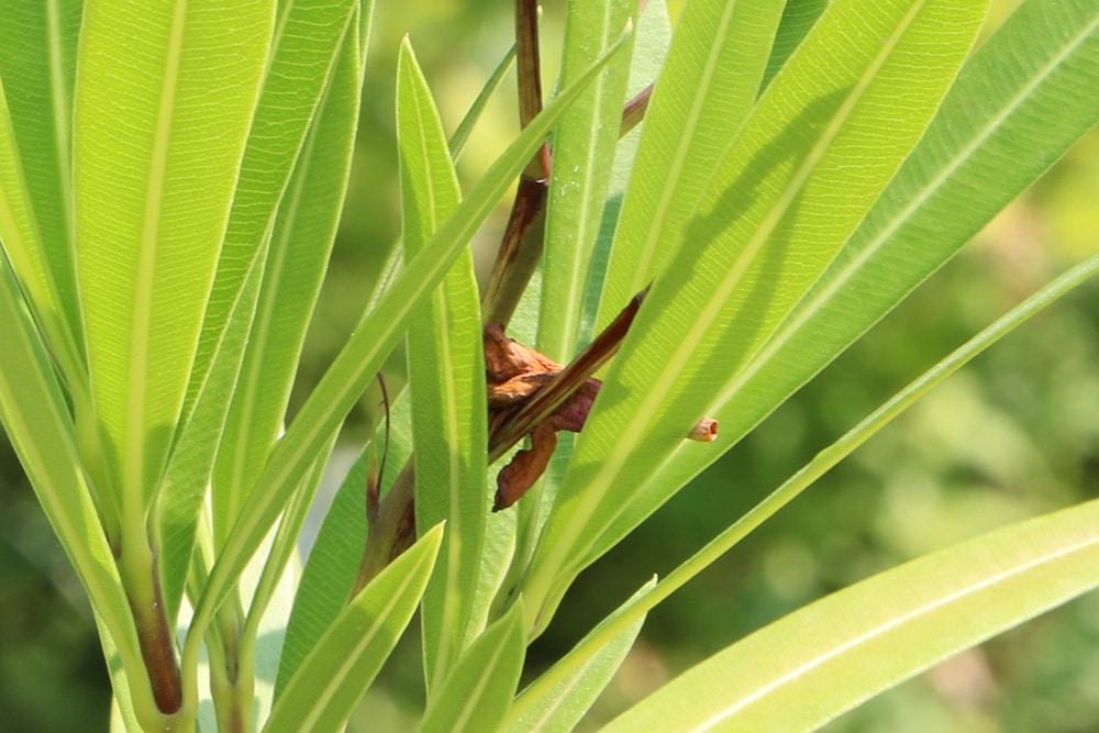 Verblühte Oleanderblüte