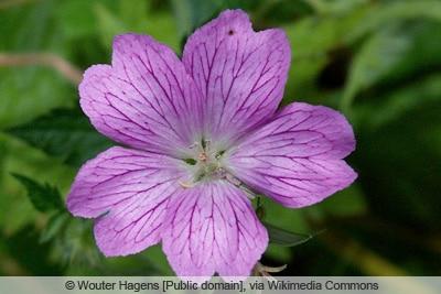 Storchschnabel - Geranium endressii 'Wargrave Pink'