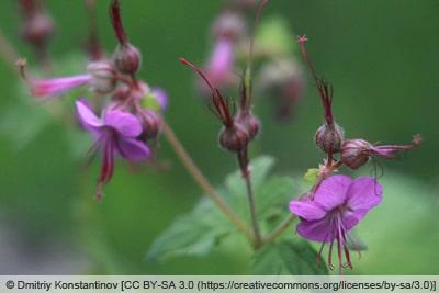 Storchschnabel - Geranium macrorrhizum 'Bevan'