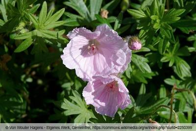 Storchschnabel - Geranium sanguineum striatum