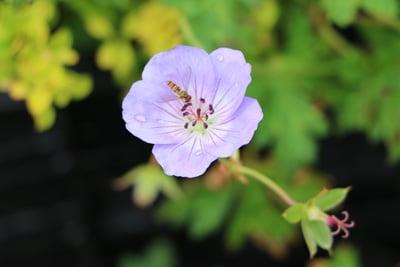 Storchschnabel - Geranium wallichianum 'Azure rush'