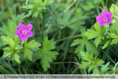 Sumpf-Storchschnabel - Geranium palustre