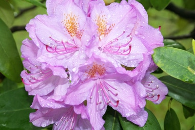 Rhododendron nass