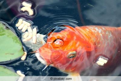 Fütterung eines Goldfischs