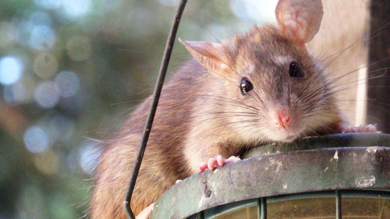 Meldepflicht Bei Ratten Im Garten Alle Informationen Gartenlexikon De