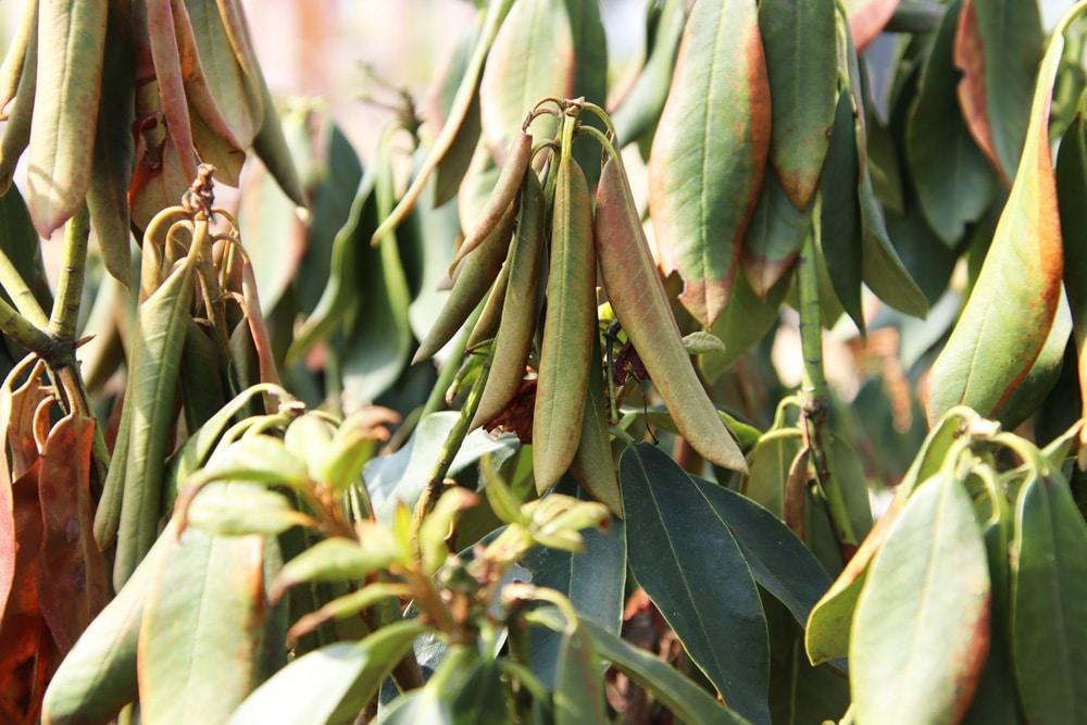 Rhododendron lässt Blätter hängen