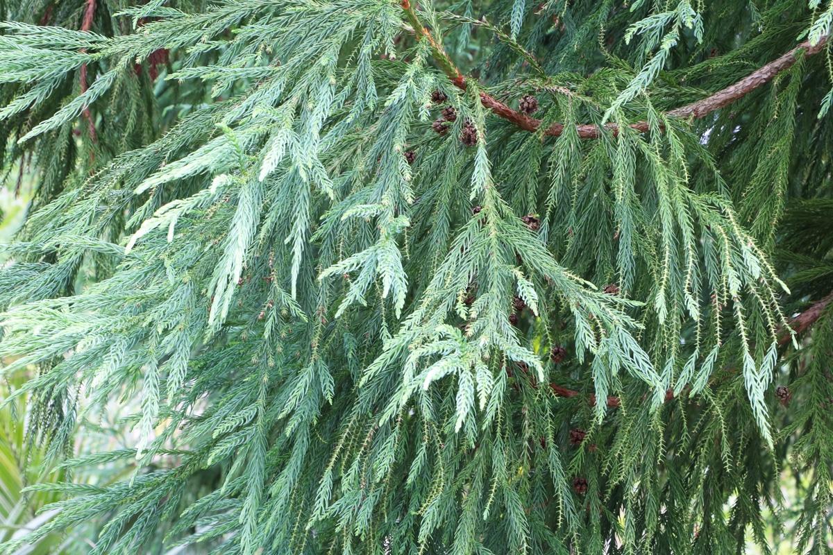 Sicheltanne - Cryptomeria japonica