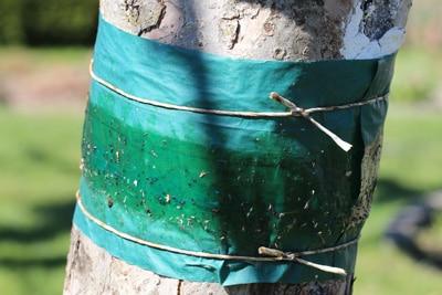 Baumleimring gegen Schädlinge
