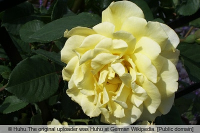 Kletterrose 'Golden Gate'