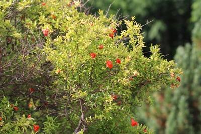 Zwerggranatapfelbaum
