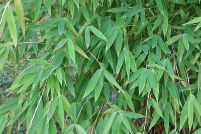 Gartenbambus - Fargesia murielae