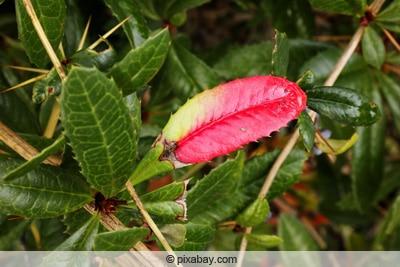 Großblättrige Berberitze - Berberis julianae