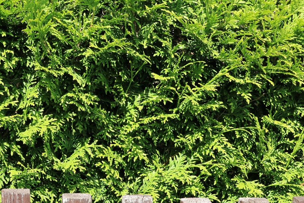 Thuja - Lebensbaum