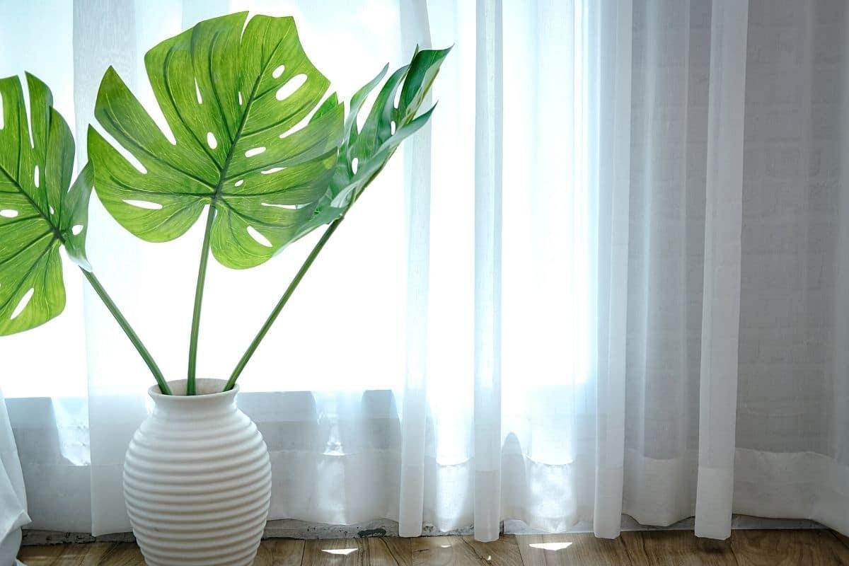 Braune Blätter an Monstera - Monstera an Fenster hinter Gardine