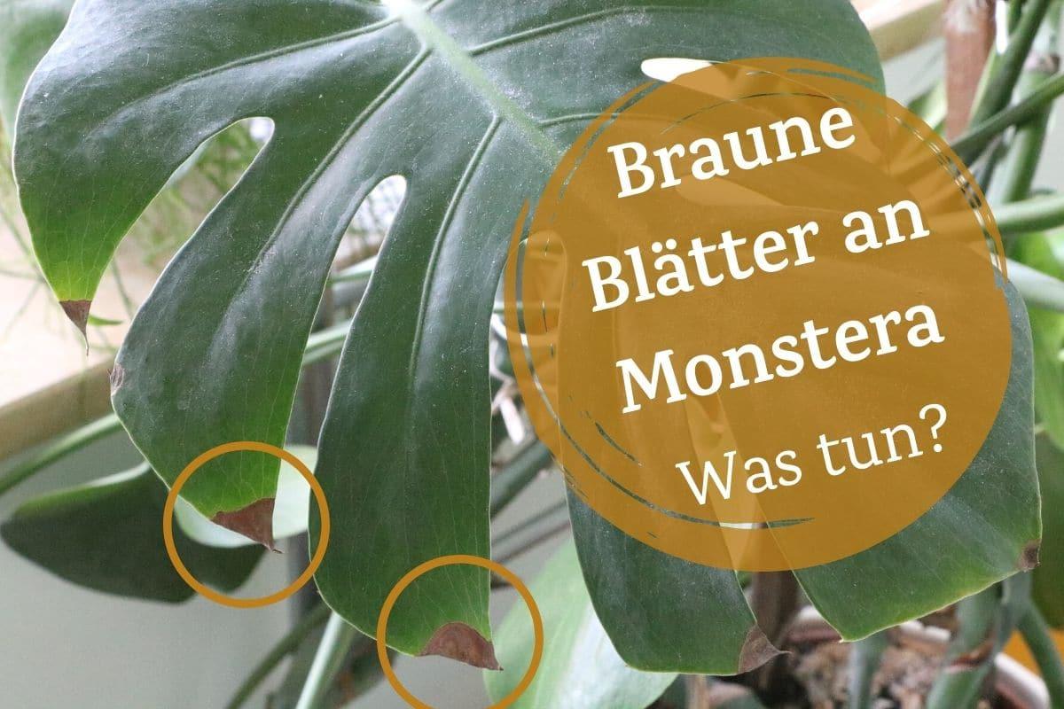 Braune Blätter und Blattspitzen an Monstera
