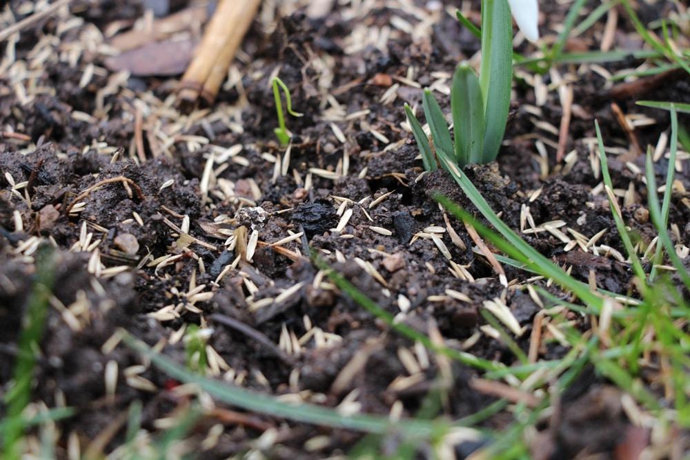 Rasen nachsäen - Samen im Rasen