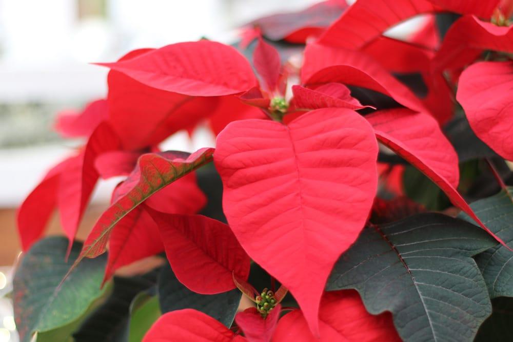 Weihnachsstern - Blätter rollen sich ein