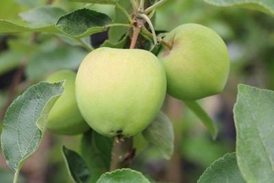 Alte Apfelsorte - Weißer Klarapfel