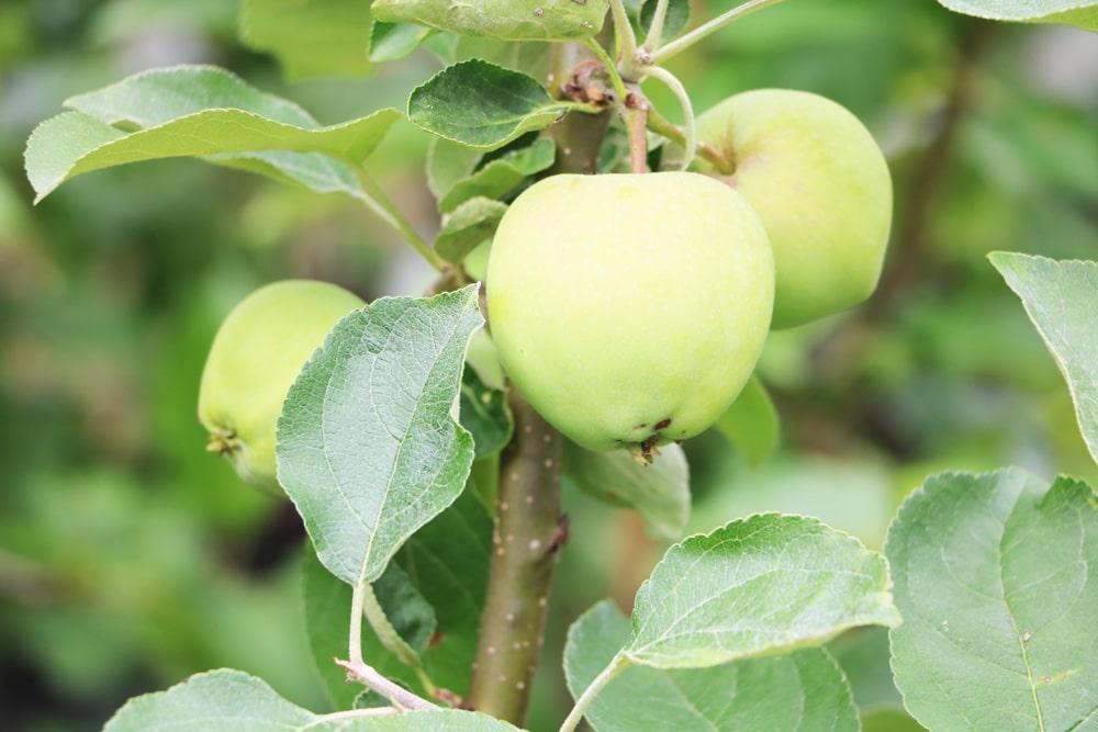 Zwergapfelbaum - Weißer Klarapfel