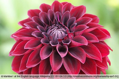 Dahliensorte 'Arabian Night'