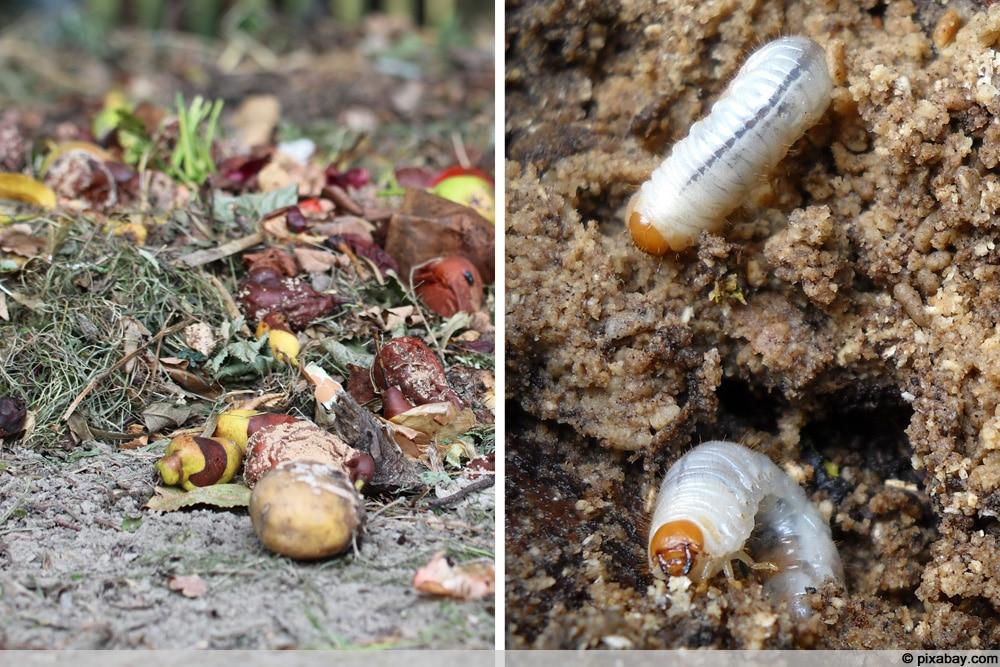 Engerlinge im Kompost