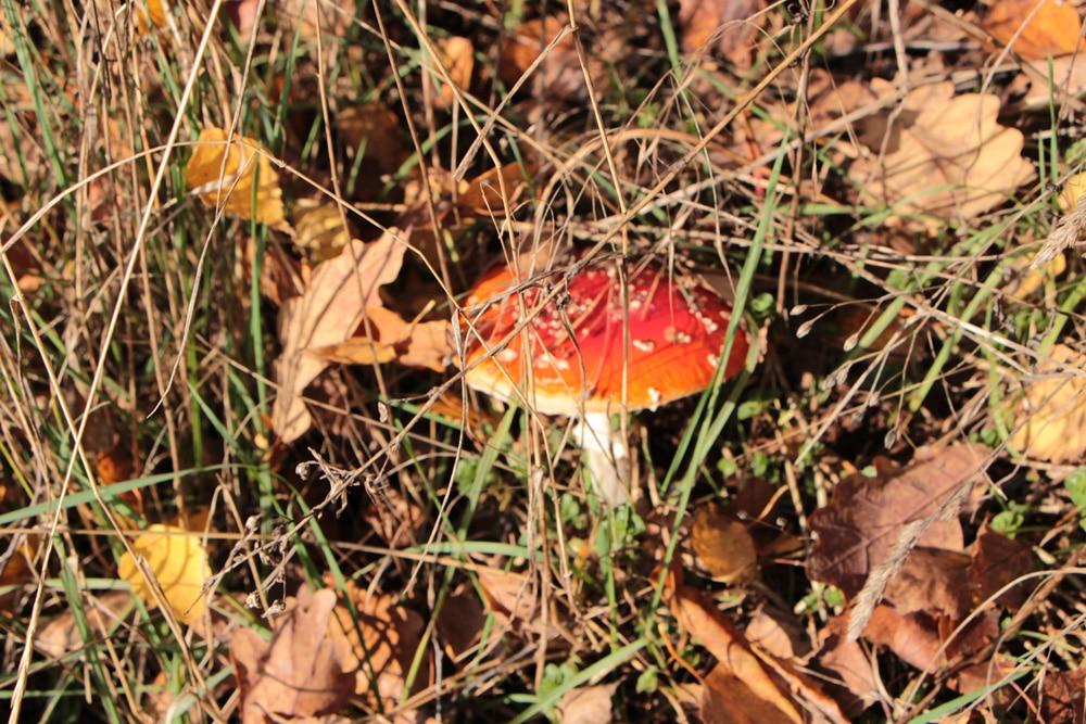 Pilze im Rasen - Fliegenpilz