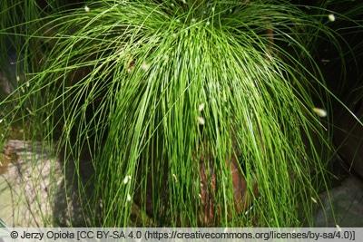 Hängepflanzen und Ampelpflanzen - Frauenhaargras - Scirpus cernuus