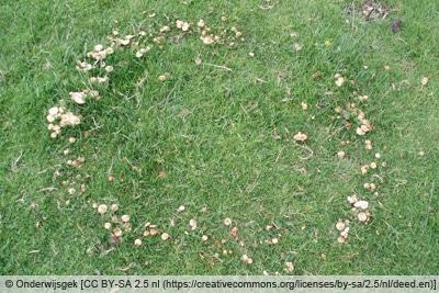 Hexenring aus Pilzen im Rasen