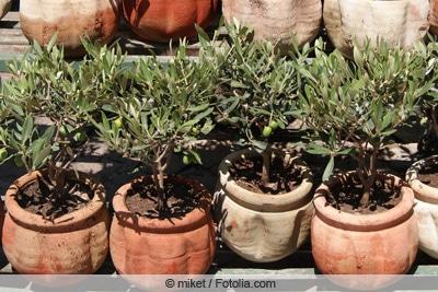 Olivenbäumchen nebeneinander