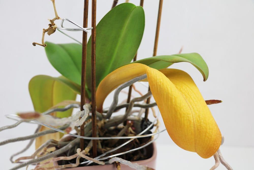 Orchideen faulen