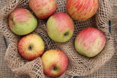 Apfelsorten Rheinischer Bohnapfel