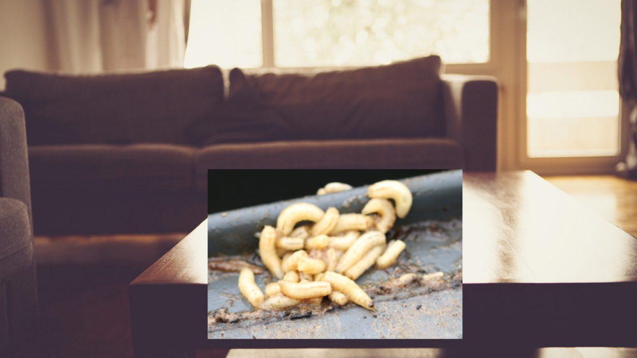 Weiße Maden in der Wohnung: was Sie jetzt tun können