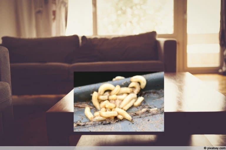 Weisse Maden In Der Wohnung Was Sie Jetzt Tun Konnen Gartenlexikon De