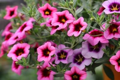 Hängepflanzen und Ampelpflanzen - Zauberglöckchen - Mini-Petunie