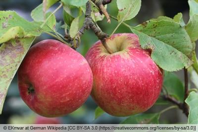 Sommeräpfel 'Astramel'