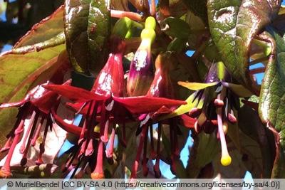 Baumfuchsie - Fuchsia excorticata