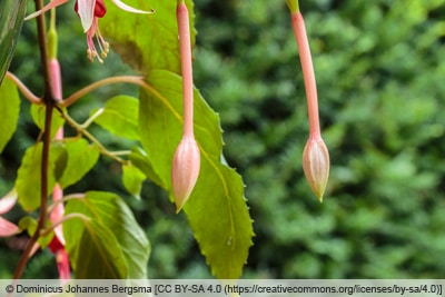 Fuchsiensorte 'Big Slim'