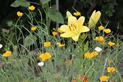 Lilie auf Wiese
