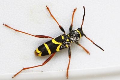 Käfer-Arten - Echter Widderbock