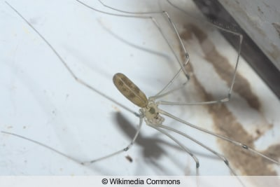 Große Zitterspinne - Pholcus phalangioides