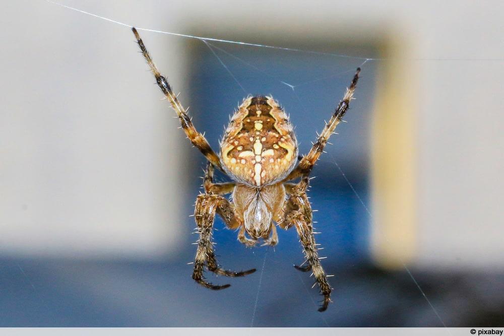 Kreuzspinne in Netz vor Haus