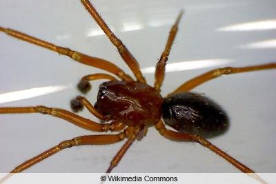 Kleine rote Spinne - Macrargus rufus
