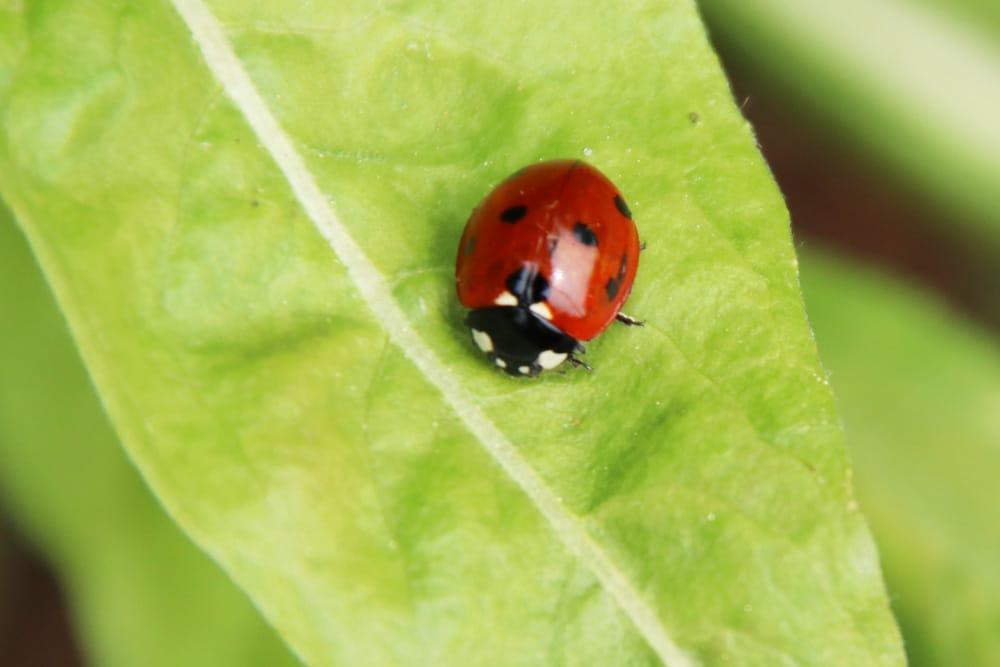 Käfer-Arten - Marienkäfer