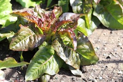 Römischer Salat