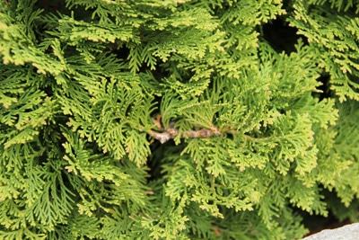 Scheinzypresse - Chamaecyparis lawsoniana