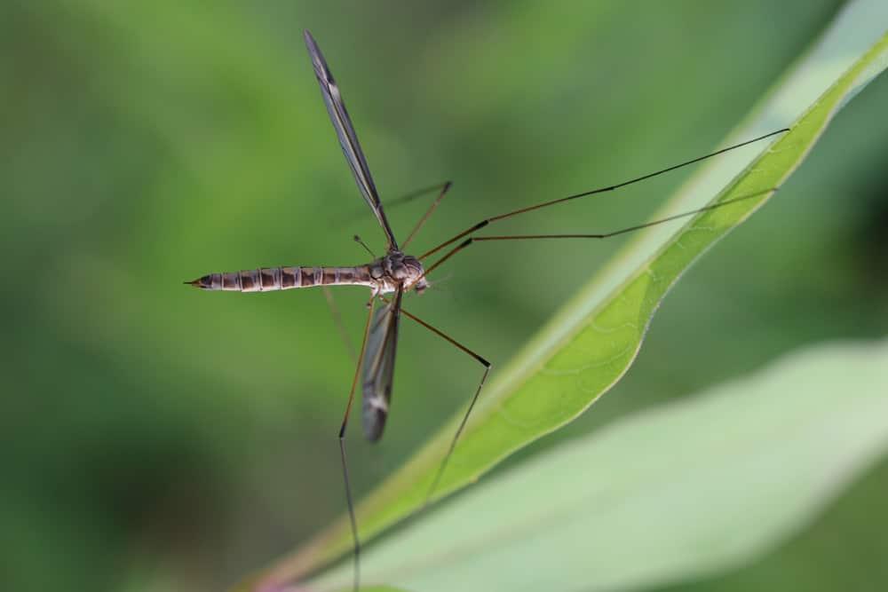 Spinne mit Flügeln - Schnake