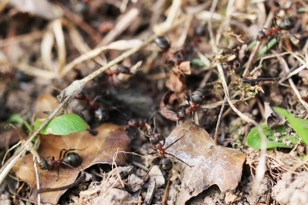Ameisenarten