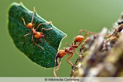 Ameisenarten - Blattschneiderameisen