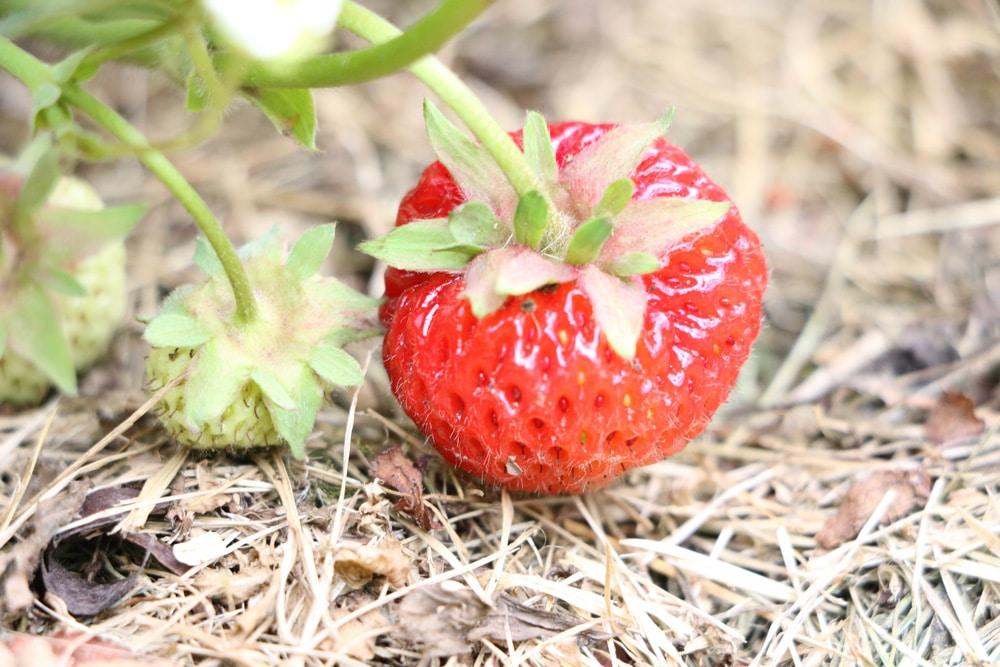 Erdbeeren düngen mit Stroh