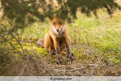Fuchs schaut aus sicherer Entfernung